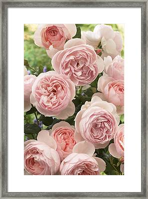 Rose Rosa Sp Heritage Variety Flowers Framed Print by VisionsPictures