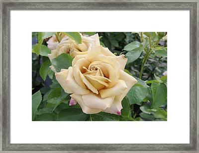 Rose Rosa Sp Honey Dijon Variety Flowers Framed Print by VisionsPictures