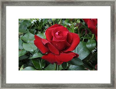 Rose Rosa Sp Ingrid Bergman Variety Framed Print by VisionsPictures