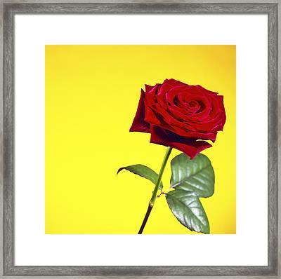 Rose (rosa Sp.) Framed Print by Johnny Greig