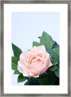Rose (rosa Sp.) Framed Print by Lawrence Lawry