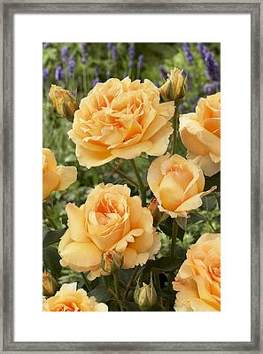 Rose Rosa Sp Solo Mio Renaissance Framed Print by VisionsPictures