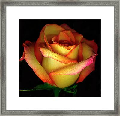 Rose Scan Day 3 No Lid Framed Print by Paul Shefferly