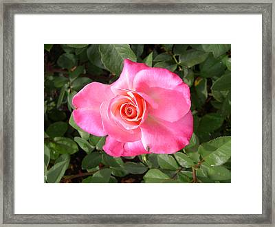 Rose With Fly Framed Print