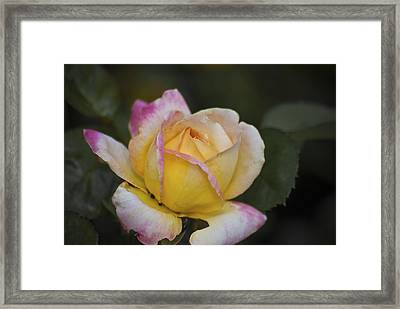 Rose With Pink Tips Framed Print