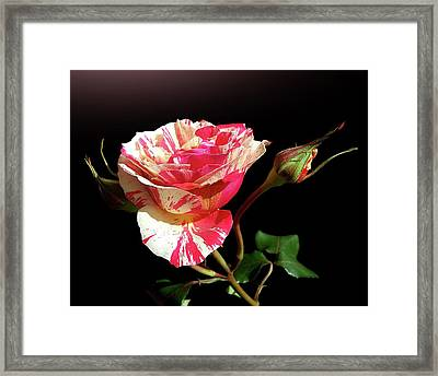Rose With Two Buds Framed Print