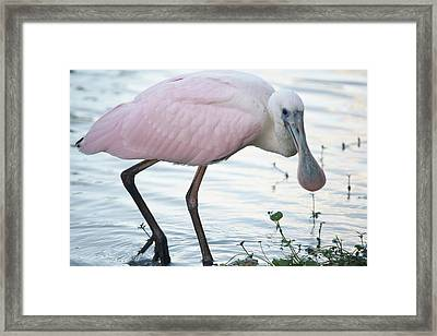Roseate Spoonbill 3 Framed Print by Andrea  OConnell