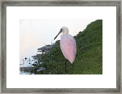 Roseate Spoonbill 4 Framed Print by Andrea  OConnell