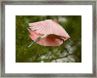 Framed Print featuring the photograph Roseate Spoonbill In Flight by Myrna Bradshaw