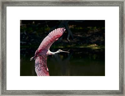Framed Print featuring the photograph Roseate Spoonbill by Steven Sparks