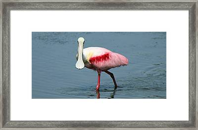 Roseate Spoonbill Framed Print by Wild Expressions Photography