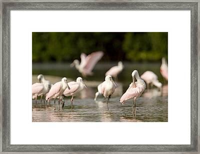 Roseate Spoonbills Ajaia Ajaja Feed Framed Print by Tim Laman