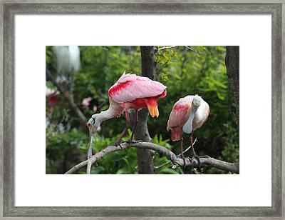 Roseate Spoonbills Framed Print