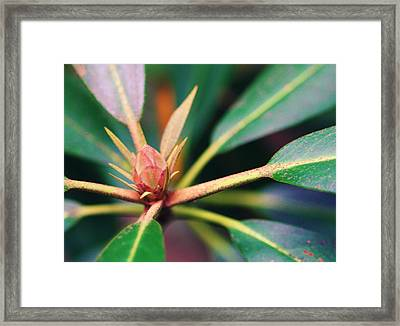Rosebay Rhododendron Bud Framed Print by Susie Weaver