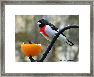 Rosebreasted Grossbeak Eating Orange Framed Print