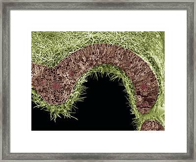 Rosemary Leaf Structure, Sem Framed Print by Steve Gschmeissner