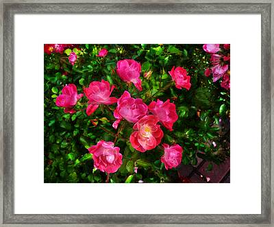 Roses Bush Framed Print by Aleksandr Volkov