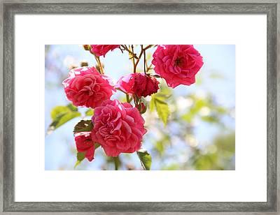 Roses Framed Print by Gal Ashkenazi