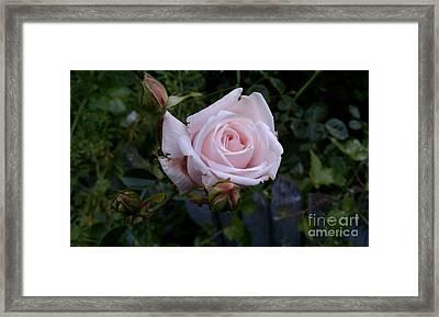 Roses In Bloom Framed Print