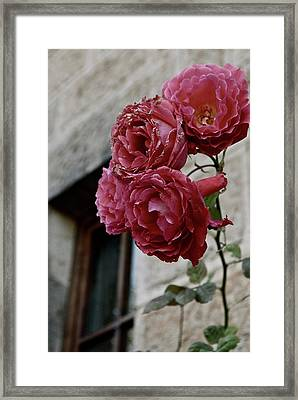 Roses In Napa Framed Print by Lori Leigh
