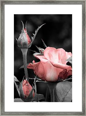 Framed Print featuring the photograph Roses In Pink And Gray by Michelle Joseph-Long
