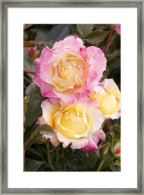 Roses (rosa 'camille Pissaro') Framed Print by Adrian Thomas
