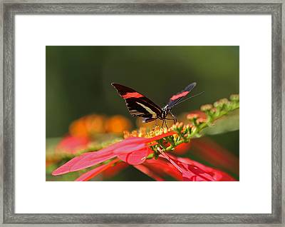 Rosina Butterfly Framed Print by Juergen Roth