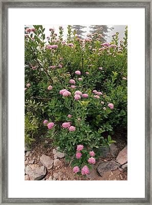 Rosy Spirea (spiraea Splendens) Framed Print