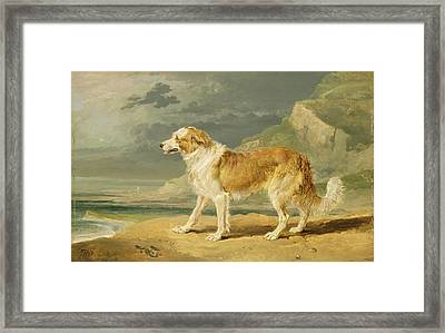Rough-coated Collie Framed Print