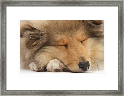 Rough Collie Pup Framed Print