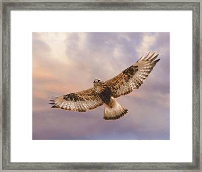 Rough Legged Hawk Framed Print