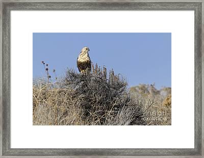 Rough-legged Hawk Framed Print by Dennis Hammer