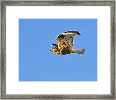 Rough-legged Hawk Framed Print by Tony Beck