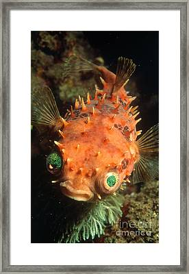 Rounded Porcupine Fish Framed Print by Nature Source