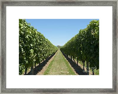 Row Of Grapevines In Vineyard Framed Print by Dave & Les Jacobs