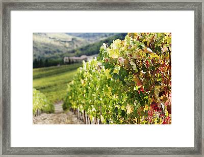 Row Of Grapevines In Vineyard Framed Print by Jeremy Woodhouse