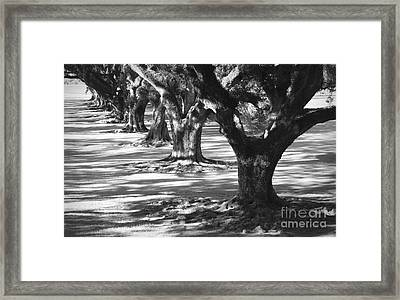 Row Of Oaks - Black And White Framed Print by Carol Groenen
