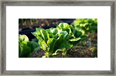 Row Of Romaine Framed Print by Angela Rath