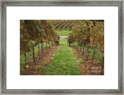 Rows Of Grape Vines Framed Print by Roberto Westbrook
