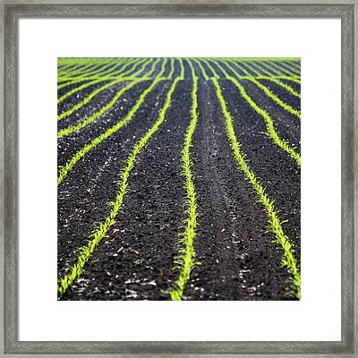 Rows Of Maize Seeds Framed Print by Baerbel Wilm