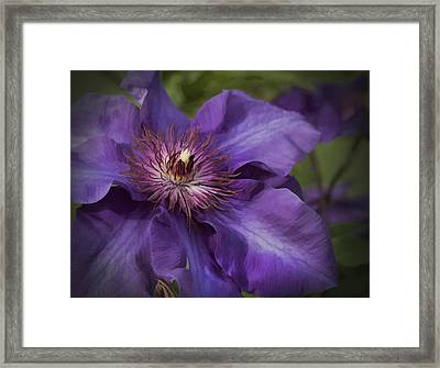 Royal Purple Jackmanii Clematis Blossom Framed Print by Kathy Clark