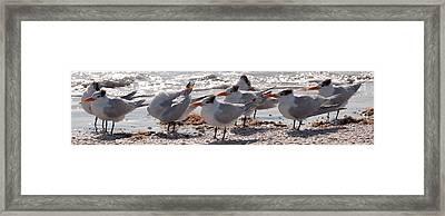 Royal Terns Framed Print by MJ Cadle