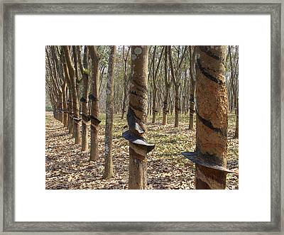 Rubber Tree Plantation Framed Print by Bjorn Svensson