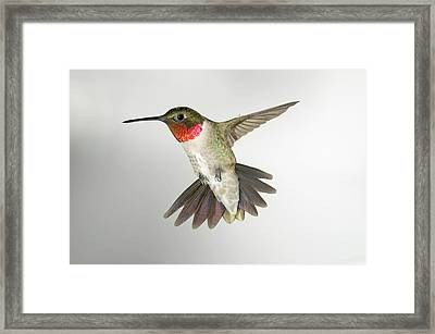 Ruby Throat Hummingbird Framed Print by Gregory Scott