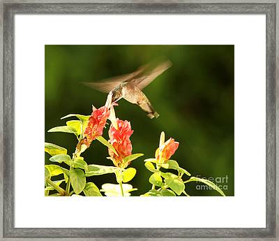 Framed Print featuring the photograph Ruby Throat Hummingbird by Luana K Perez
