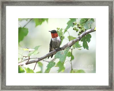 Ruby Throat Framed Print by Theresa Willingham