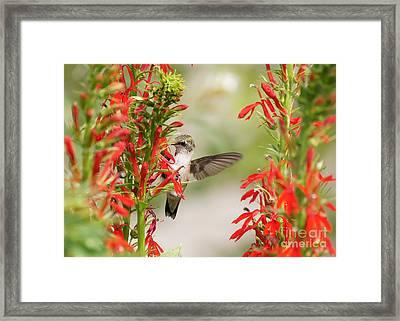 Ruby-throated Hummingbird And Cardinal Flower Framed Print