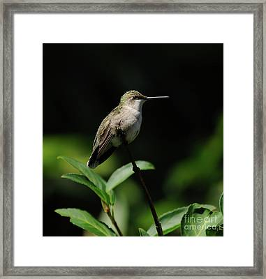 Ruby-throated Hummingbird Female Framed Print
