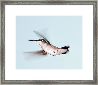 Ruby-throated Hummingbird In Flight Framed Print