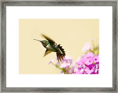 Ruby Throated Hummingbird. Framed Print by Kelly Nelson